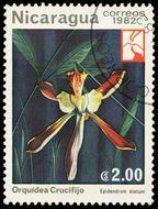 Image of <i>Encyclia ambigua</i> (Lindl.) Schltr.