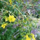 Image of shrubby yellowcrest