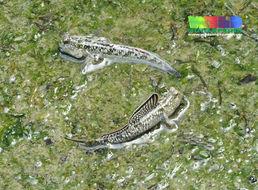 Image of <i>Periophthalmus walailakae</i> Darumas & Tantichodok 2002