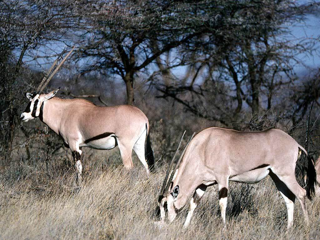 Image of Gemsbok