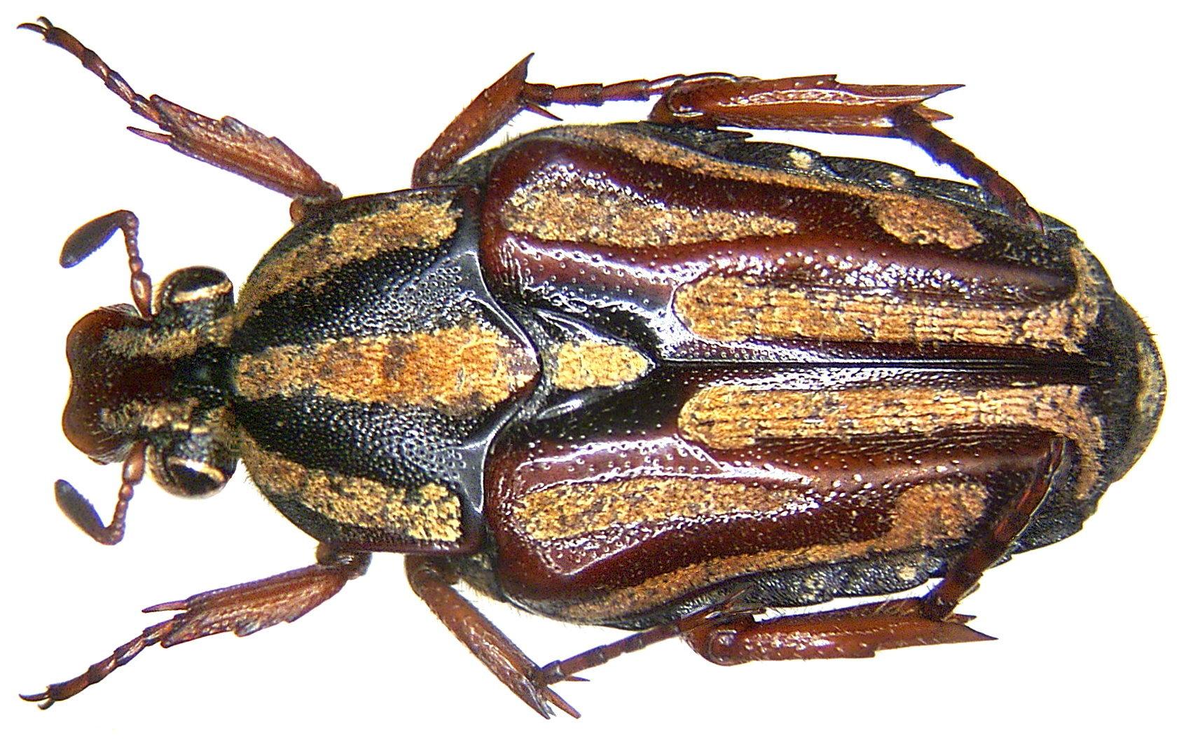 Image of <i>Ixorida venerea apelles</i>