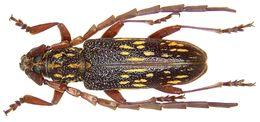 Image of <i>Xoanodera vermiculata</i> Hüdepohl 1989