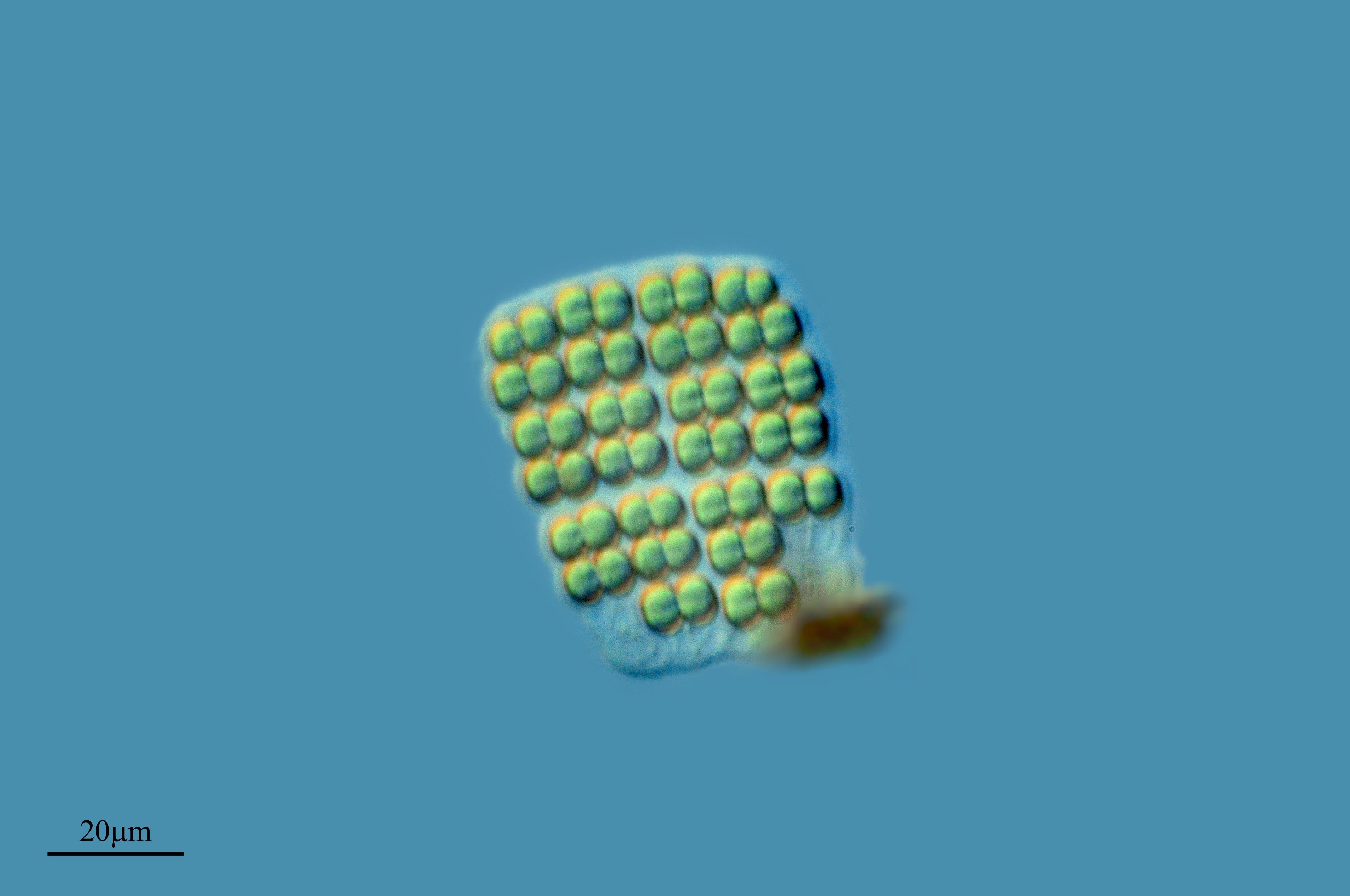 Image of <i>Merismopedia glauca</i>