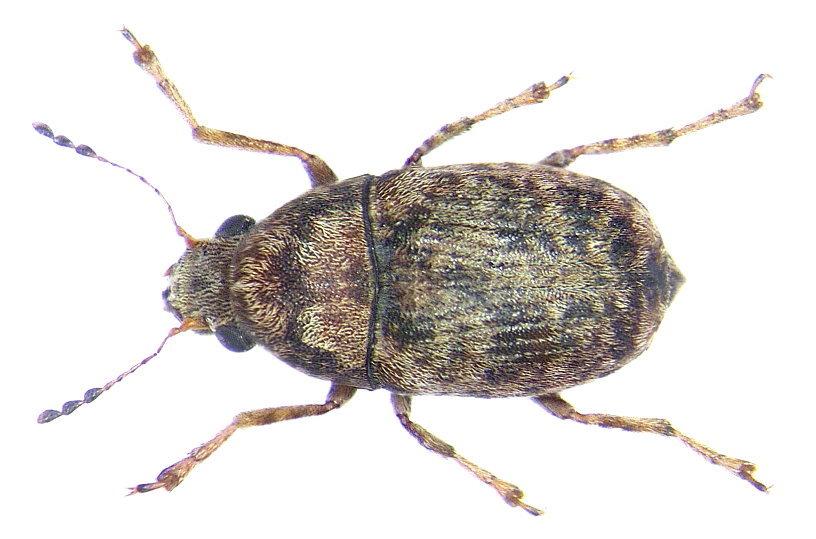 Image of <i>Araecerus vieillardi</i>
