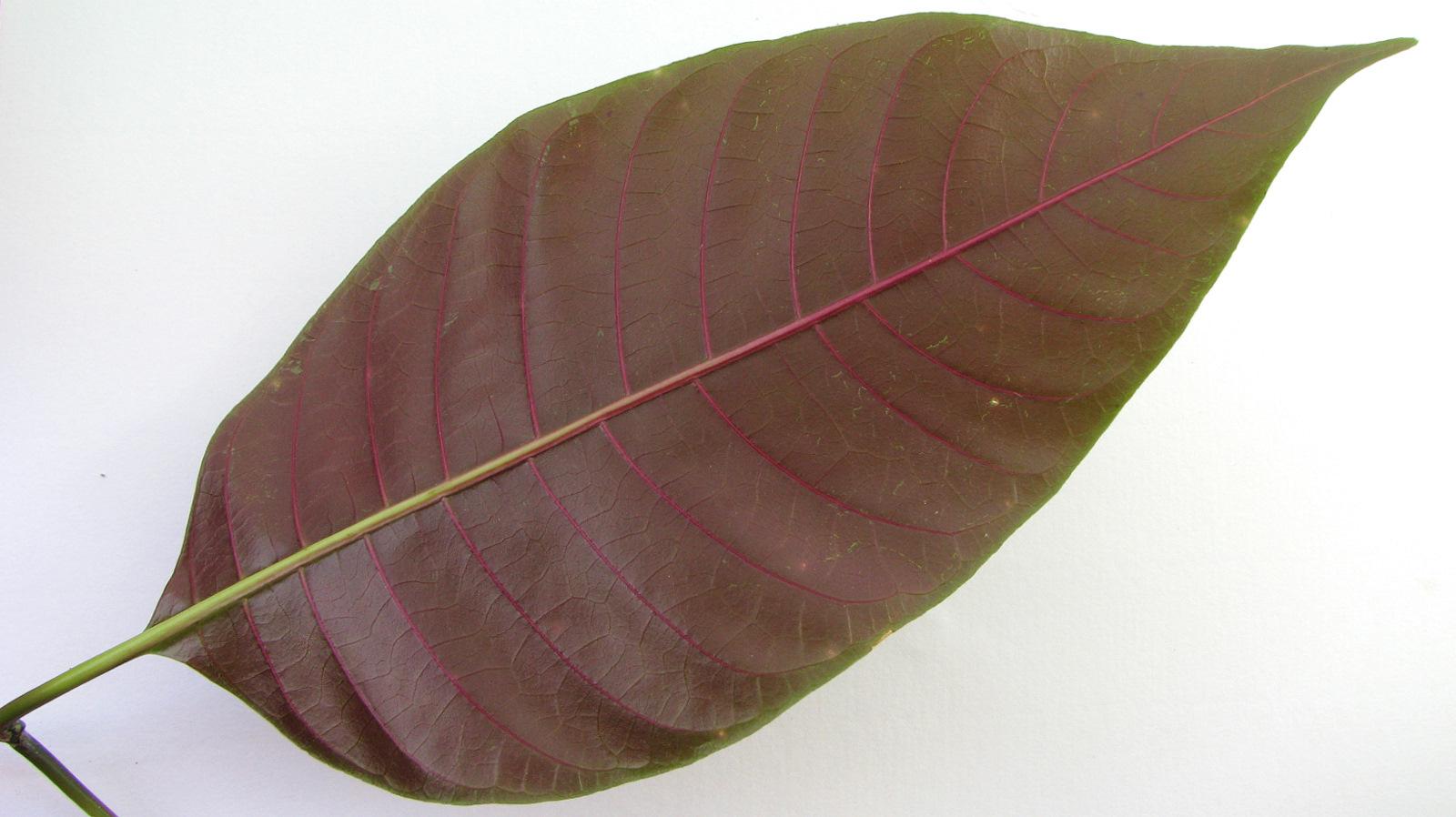 Image of <i>Palicourea blanchetiana</i> Schltdl.