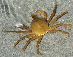 Image of Northern Kelp Crab
