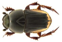 Image of <i>Oniticellus cinctus</i> (Fabricius 1775)