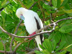 Image of Red-footed Booby