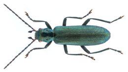 Image of <i>Ischnomera cyanea</i>