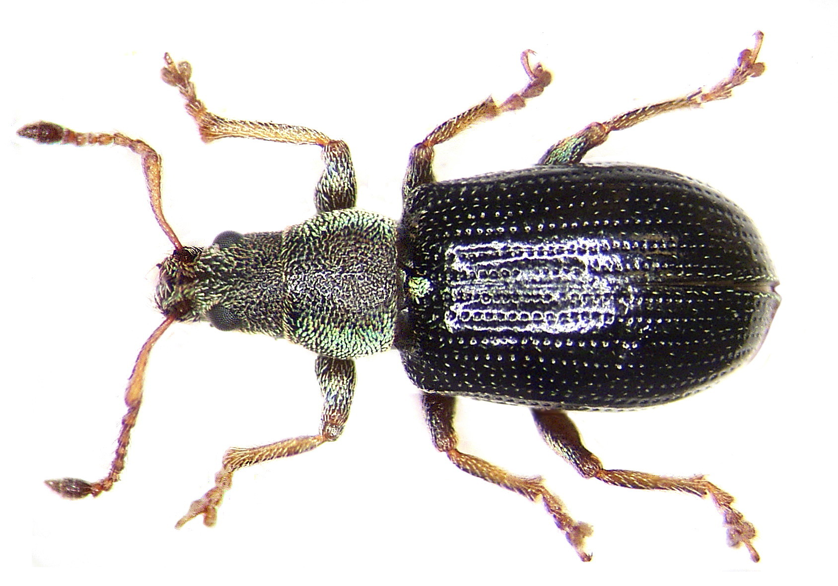 Image of Green Nettle Weevil