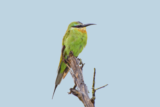 Image of Blue-cheeked Bee-eater
