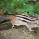 Image of Siberian Chipmunk