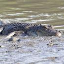 Image of Saltwater Crocodile