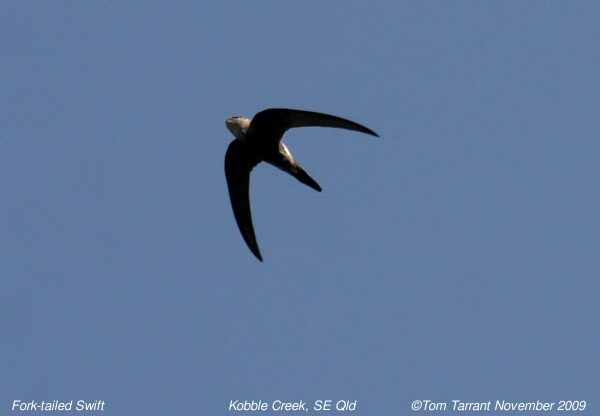 Image of Pacific Swift