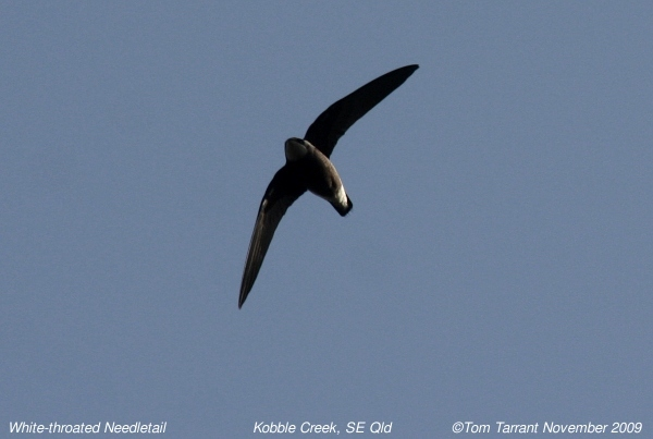 Image of Asian Spine-tailed Swift