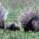 Image of Old World porcupines
