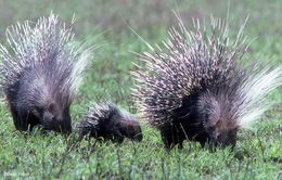 Image of North African crested porcupine
