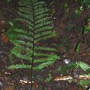 Image of <i>Didymochlaena truncatula</i> (Sw.) J. Sm.