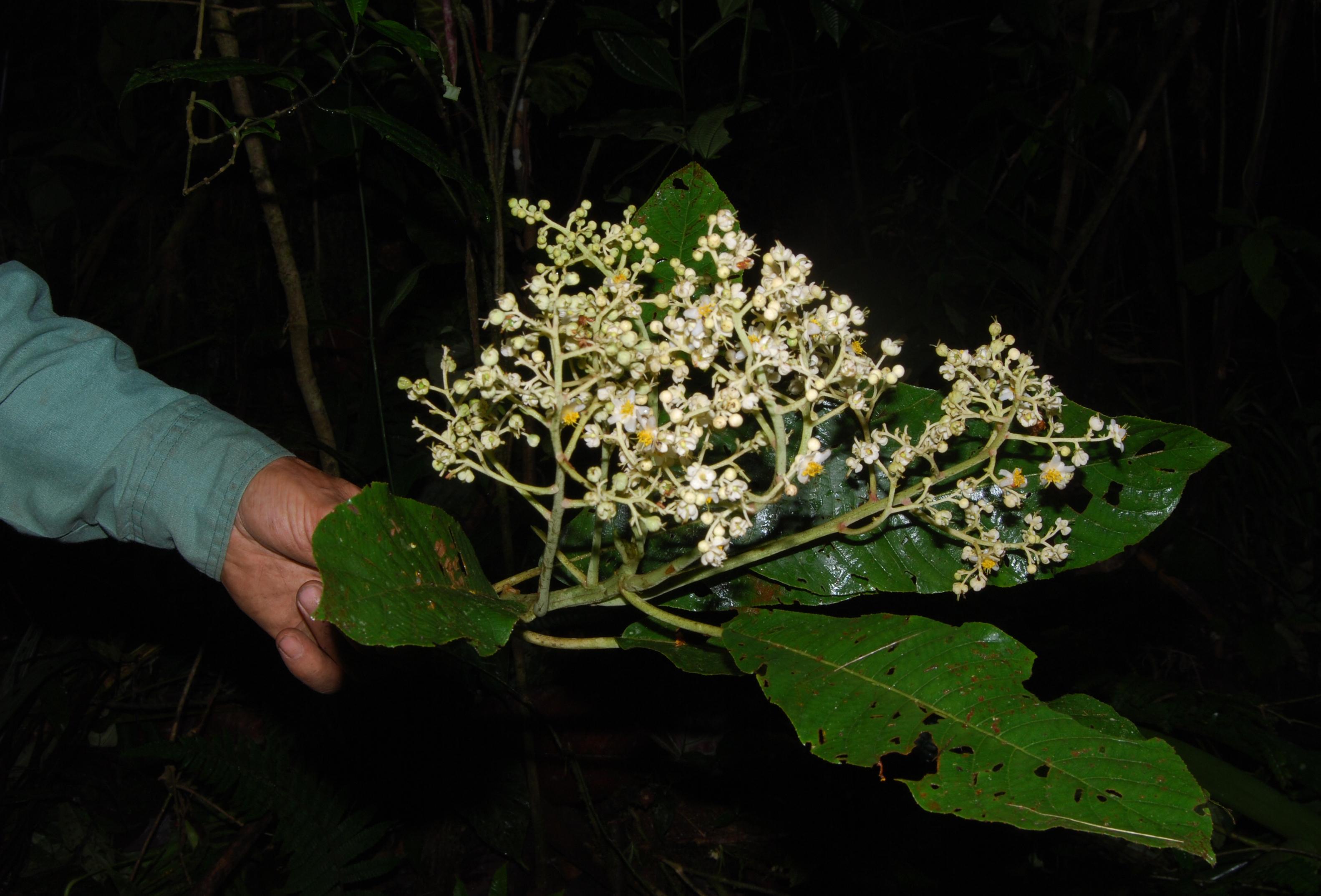 Image of <i>Saurauia pittieri</i> J. D. Sm.