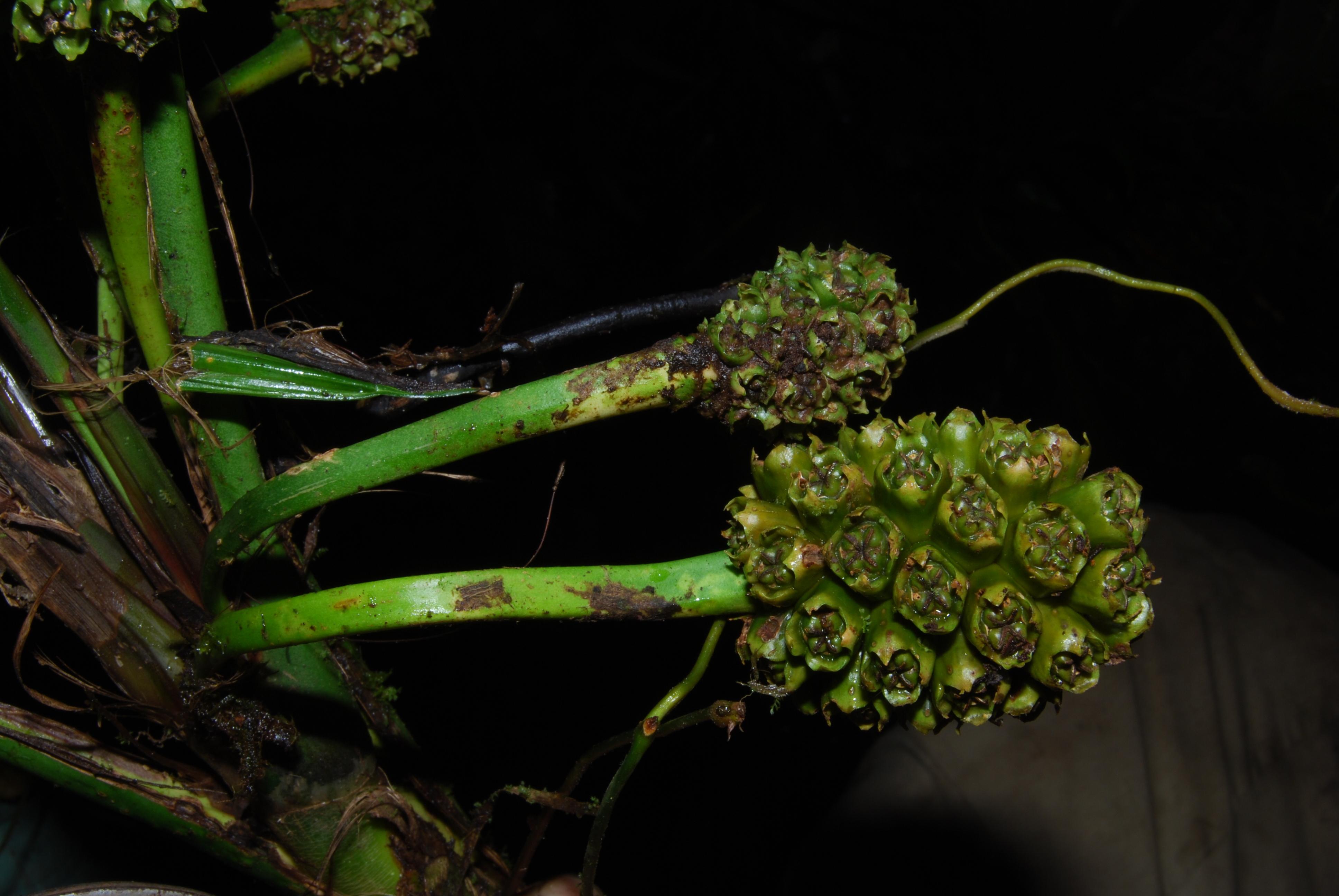 Image of <i>Evodianthus funifer</i> (Poit.) Lindm.