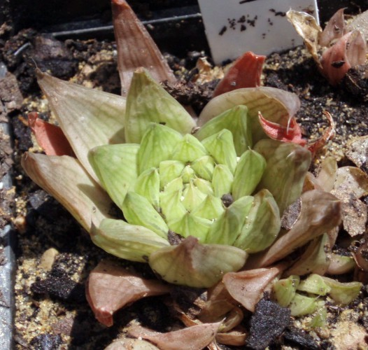 Image of <i>Haworthia pulchella</i> M. B. Bayer