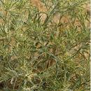 Image of <i>Picnomon acarna</i> (L.) Cass.