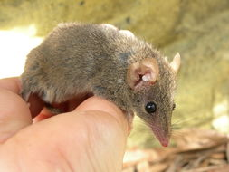 Image of Brown Antechinus