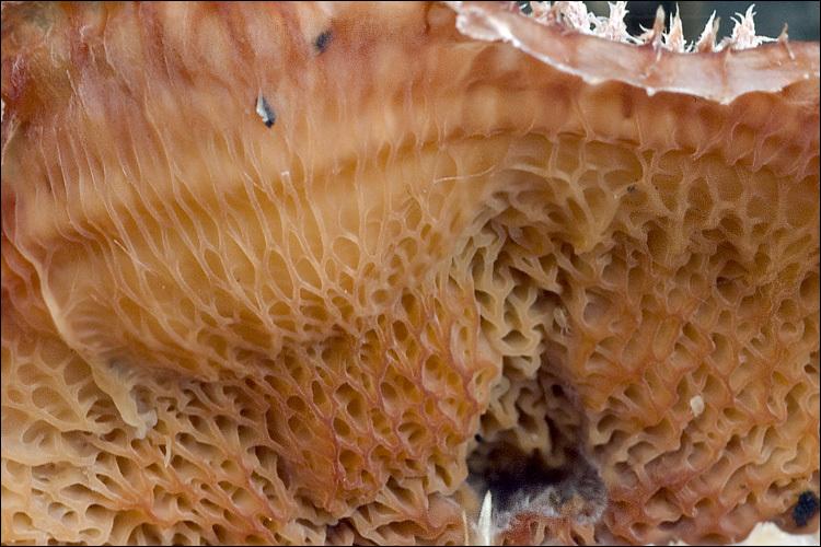 Image of <i>Phlebia tremellosa</i>