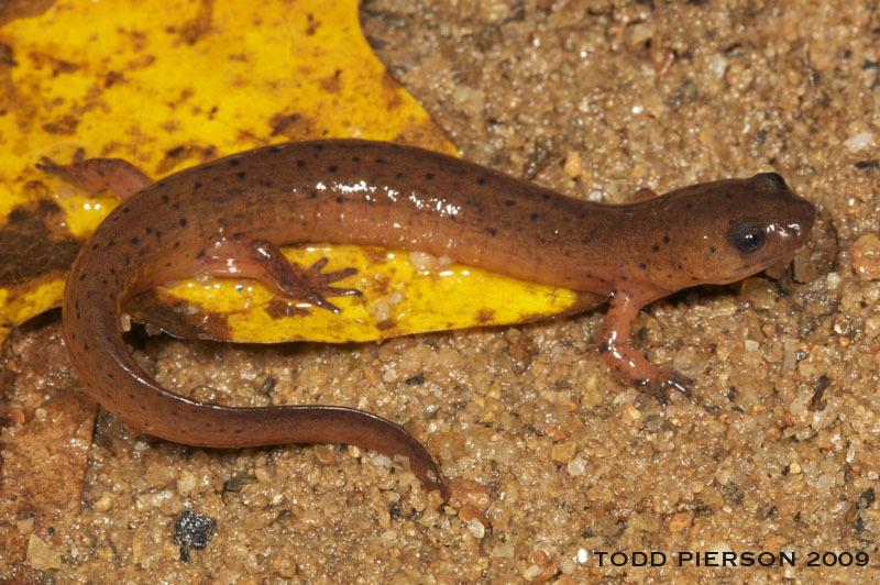 Image of Midland mud salamander