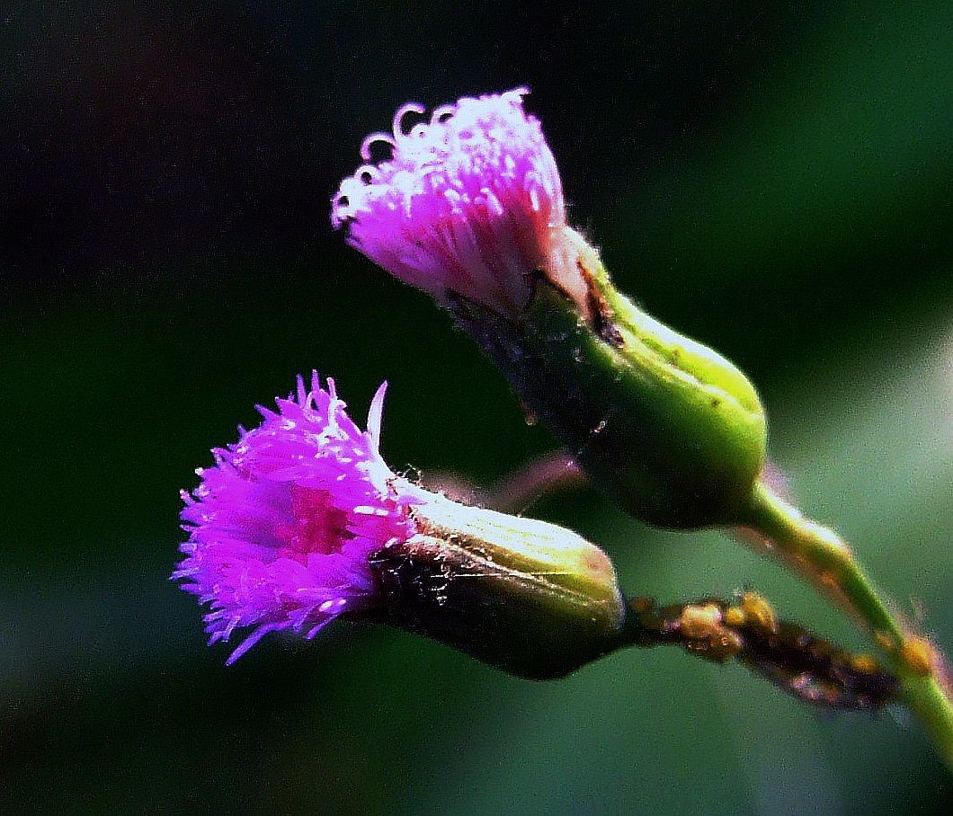 Image of lilac tasselflower
