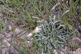 Image of <i>Plantago albicans</i> L.