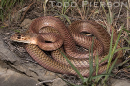 Image of Coachwhip