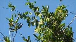 Image of <i>Rourea doniana</i> Baker