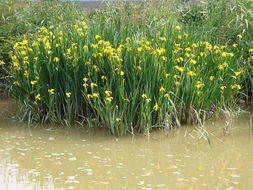 Image of Yellow Iris