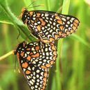 Image of Baltimore Checkerspot