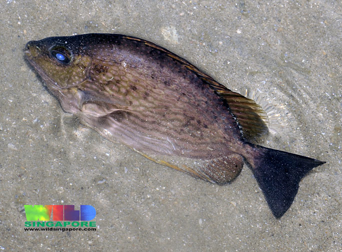 Image of Blue-spotted spinefoot