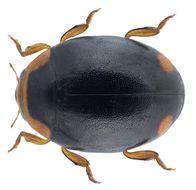 Image of <i>Hyperaspis pseudopustulata</i> Mulsant 1853