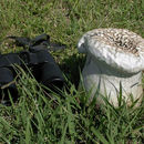 Image of Cup-shaped Puffball