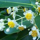 Sivun <i>Calophyllum inophyllum</i> L. kuva