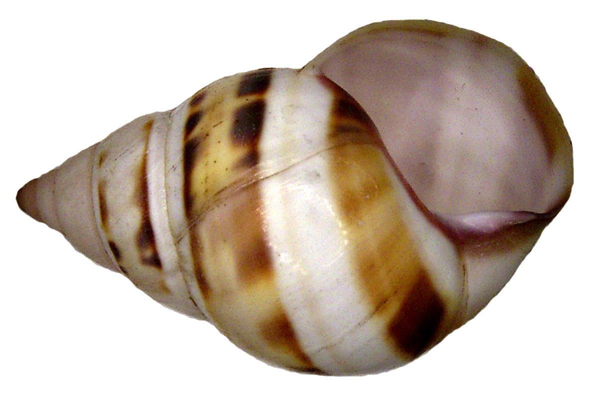 Image of <i>Liguus fasciatus</i> ssp. <i>castaneozonatus</i>