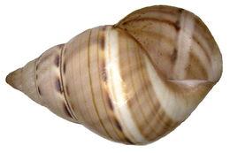 Image of <i>Liguus <i>fasciatus</i></i> ssp. fasciatus