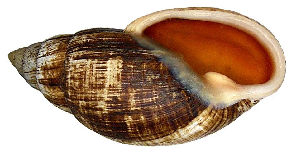 Image of <i>Placostylus fibratus</i> (Martyn 1784)