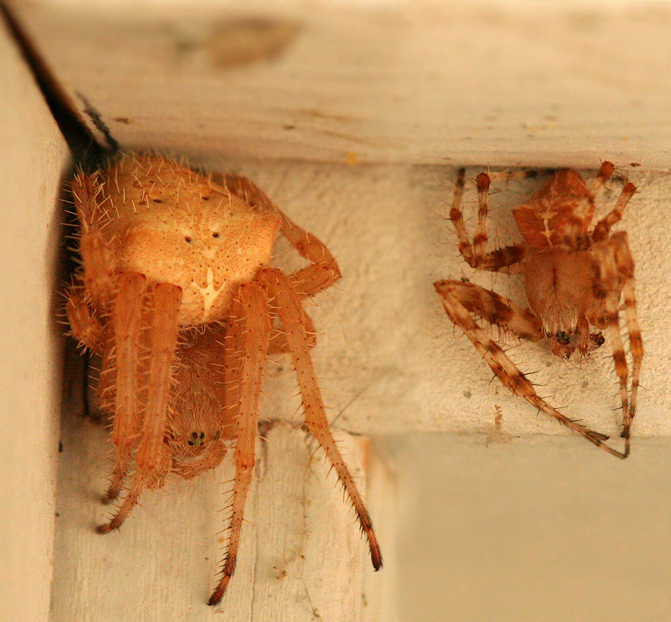 Image of cat-faced spider