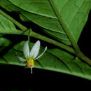 Image of <i>Solanum pertenue</i> Standl. & Morton