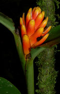 Image of <i>Renealmia cernua</i> (Sw. ex Roem. & Schult.) J. F. Macbr.