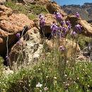Image of Bowles perennial wallflower