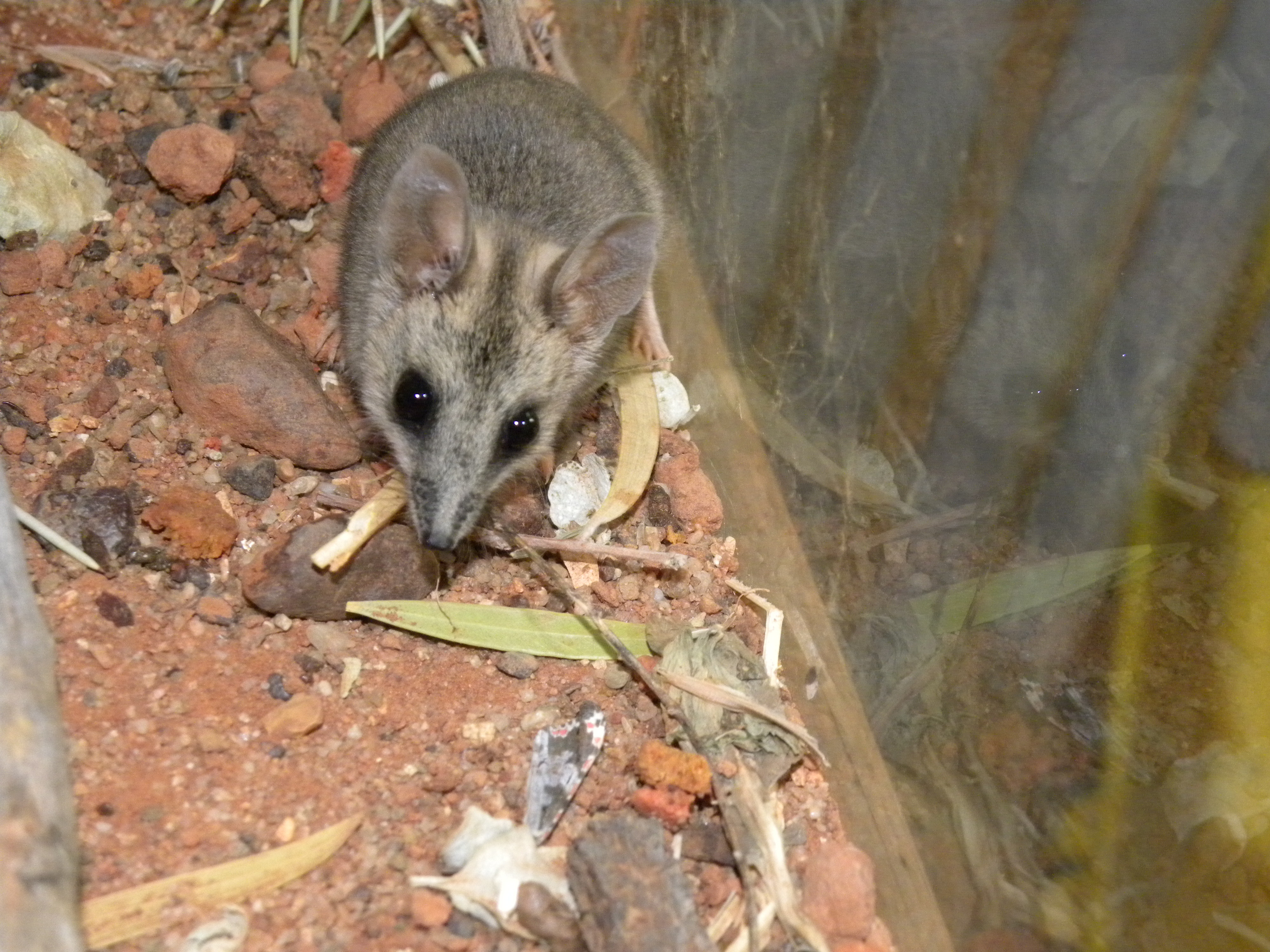 Image of Stripe-faced dunnart