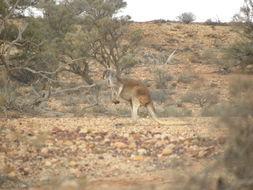 Image of red kangaroo