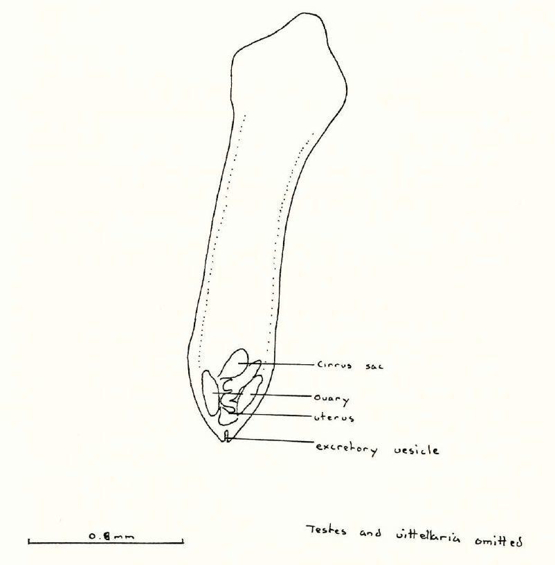 Image of <i>Balanotaenia bancrofti</i>