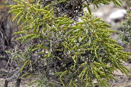 Image of <i>Genista scorpius</i> (L.) DC.